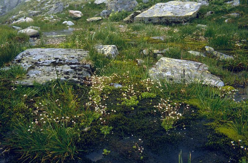 habitat of Micranthes stellaris