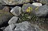 Arenaria ciliata