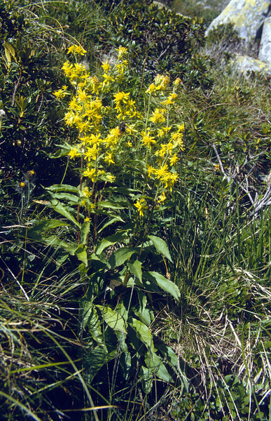 Solidago virgaurea ssp. minuta