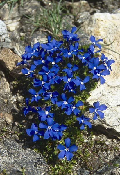 Gentiana orbicularis (determinated by Herman Mylemans)