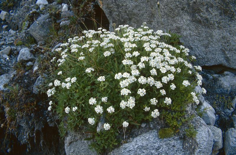 Achillea erba-rotta ssp. moschata