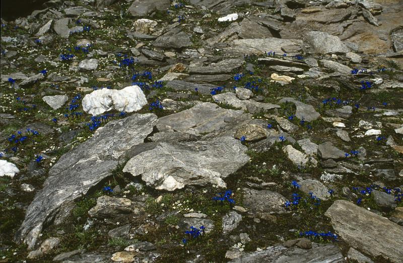 Gentiana brachyphylla and Androsace alpina
