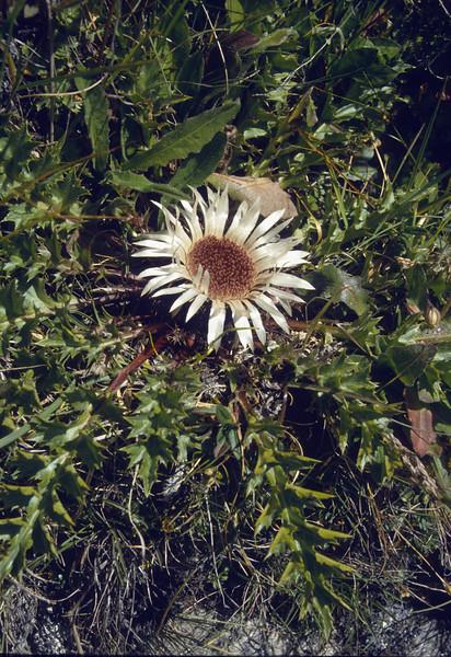 Carlina acaulis ssp.acaulis