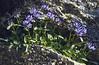 Phyteuma globulariifolium ssp. globulariifolium