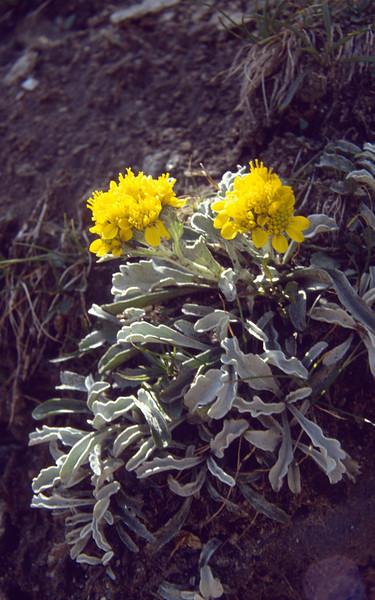 Senecio incanus ssp. carniolicus