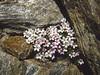 Androsace alpina