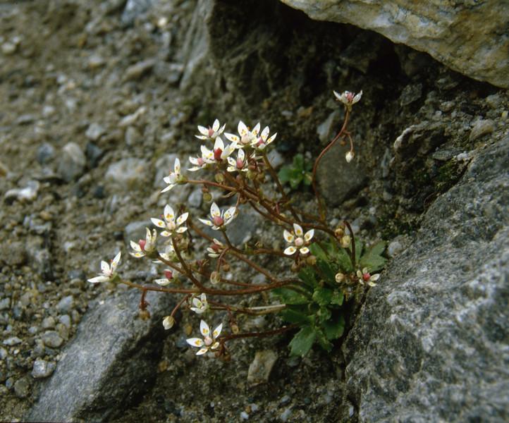 Micranthes stellaris