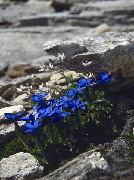 Gentiana brachyphylla ssp. favratii and Micranthes stellaris (Gentiana determinated by Herman Mylemans)