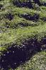 Primula glutinosa
