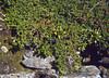 Empetrum nigrum ssp. hermaphroditum