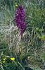 Dactylorhiza majalis