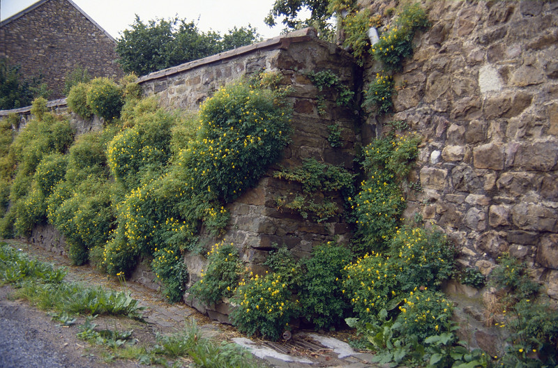 wall with Corydalis lutea (August, La Reid, Belgium)