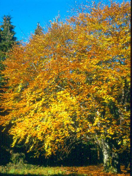 autumn,Fagus sylvatica,Hautes Fagnes