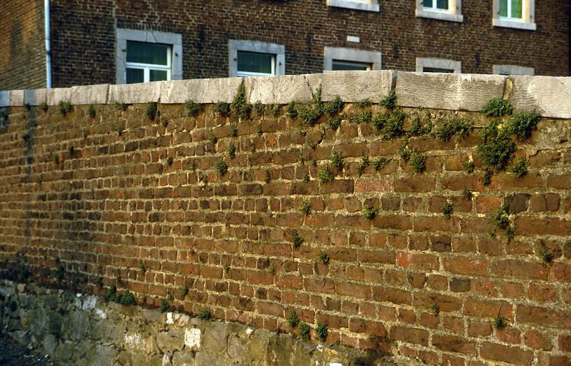 wall with Asplenium ruta-muraria, wallfern (Gemmenich, Belgium)