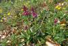 habitat of Orchis mascula ssp. mascula