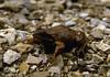 Rana temporaria, Common frog, (NL: bruine kikker),Hautes Fagnes