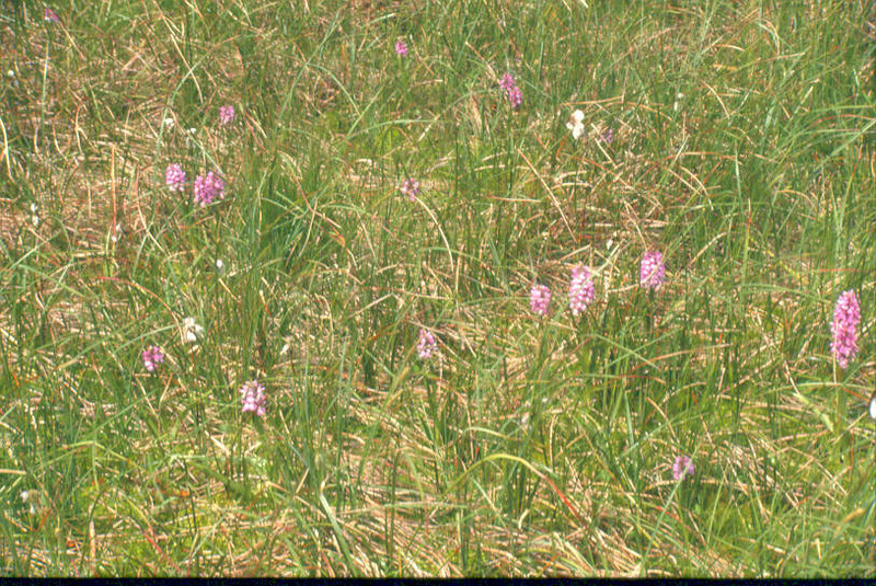 habitat of Dactylorhiza sphagnicola ssp. sphagnicola. Hautes Fagnes