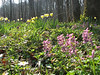habitat of Corydalis solida and Narcissus pseudonarcissus (Hohnbachtal, La Calamine,Belgium)