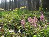 habitat of Corydalis solida and Narcissus pseudonarcissus (Hohnbachtal, La Calamine,Belgium)