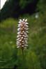 Polygonum bistorta (Hohnbachtal, La Calamine,Belgium)