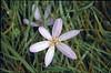 Colchicum autumnale (Hohnbachtal, La Calamine,Belgium)