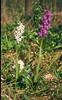 Orchis mascula var. Alba (Hohnbachtal, La Calamine,Belgium)
