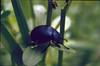 Timarcha goettingensis, fam. Chrysomelidae, (NL: haantjesfam.) (Hohnbachtal, La Calamine,Belgium)