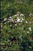 Cardamine pratensis ssp. pratensis (Hohnbachtal, La Calamine,Belgium)