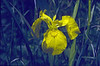 Iris pseudacorus (Hohnbachtal, La Calamine,Belgium)