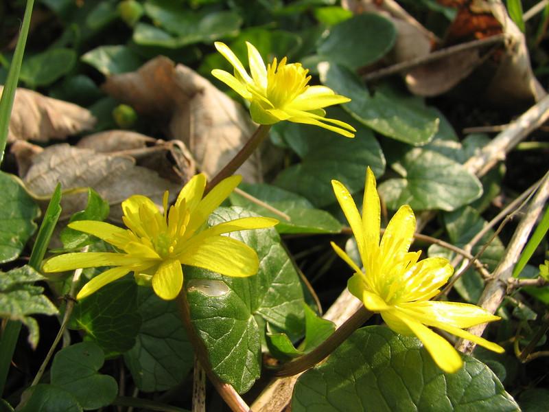 Ranunculus ficaria, (NL: speenkruid) (Hohnbachtal, La Calamine,Belgium)