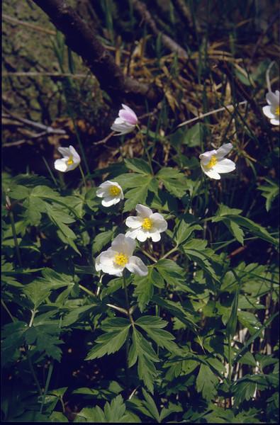 Anemone nemorosa (Hohnbachtal, La Calamine,Belgium)