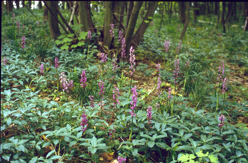 habitat of Orchis mascula, (NL: mannetjesorchis) (Hohnbachtal, La Calamine,Belgium)