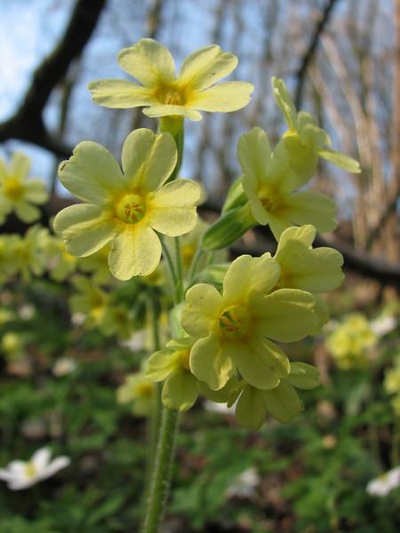 close up flowers of  Primula elatior (Hohnbachtal, La Calamine,Belgium)
