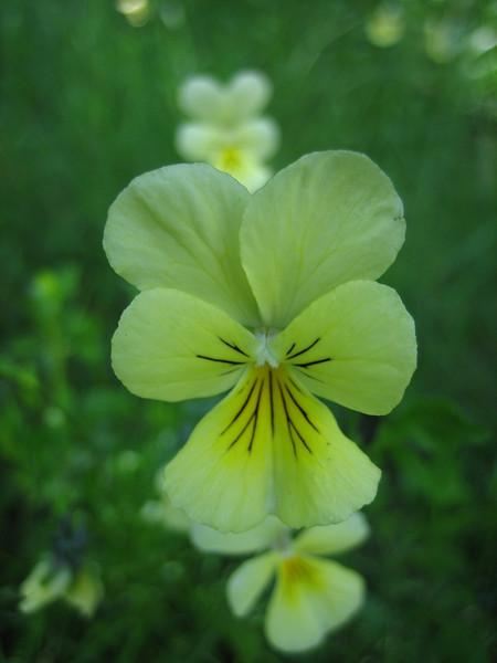 Viola calaminaria (Hohnbachtal, La Calamine,Belgium)