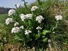 Thlaspi caerulescens ssp. calaminare (Hohnbachtal, La Calamine,Belgium)