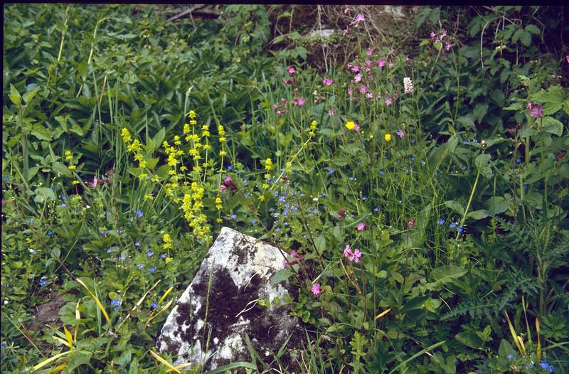 habitat with Galium cruciata, Silene dioica, Veronica spec. and Polygonum bistorta (Hohnbachtal, La Calamine,Belgium)