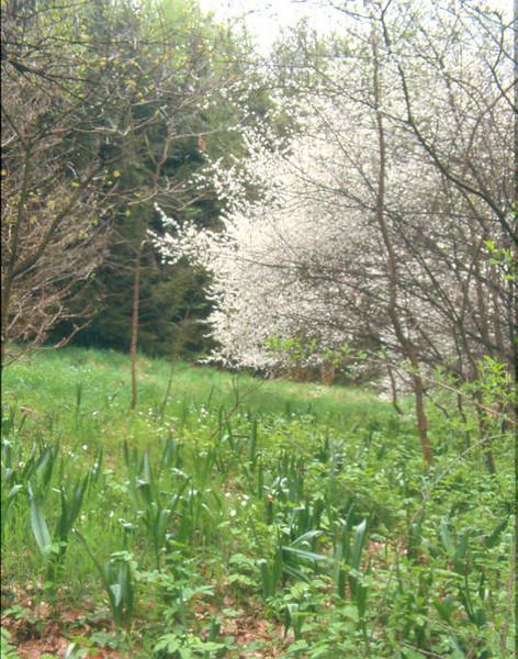 habitat of Colchicum autumnale (spring) (Hohnbachtal, La Calamine,Belgium)