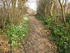 pathway with Anemone nemorosa (Hohnbachtal, La Calamine,Belgium)