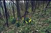 habitat of Narcissus pseudonarcissus (Hohnbachtal, La Calamine,Belgium)