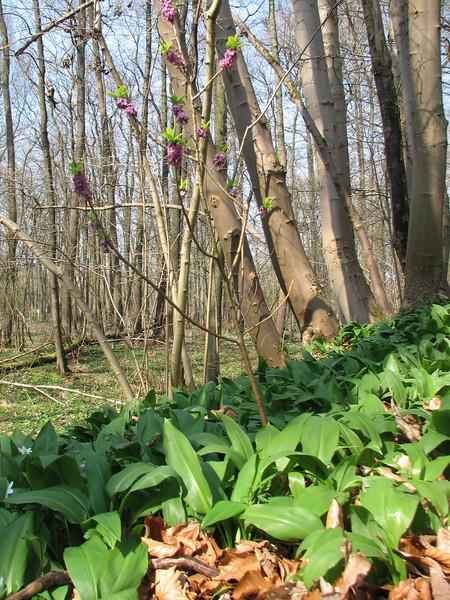 Daphne mezereum and Allium ursinum (Hohnbachtal, La Calamine,Belgium)