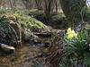 Hohnbach with Narcissus pseudonarcissus (Hohnbachtal, La Calamine,Belgium)