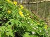 habitat of Anemone ranunculoides and Anemone nemorosa (Hohnbachtal, La Calamine,Belgium)