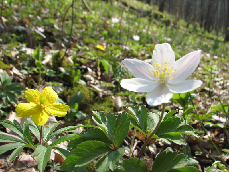 Anemone ranunculoides and Anemone nemorosa (Hohnbachtal, La Calamine,Belgium)