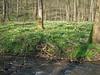 Hohnbach and habitat of Narcissus pseudonarcissus (Hohnbachtal, La Calamine,Belgium)