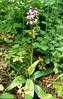 Orchis purpurea, (NL: bruine orchis) (Hohnbachtal, La Calamine,Belgium)