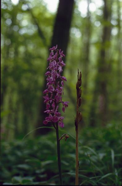 Orchis mascula  (Hohnbachtal, La Calamine, Belgium)