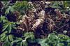 habitat of Lathraea squamaria, parasite (Hohnbachtal, La Calamine,Belgium)