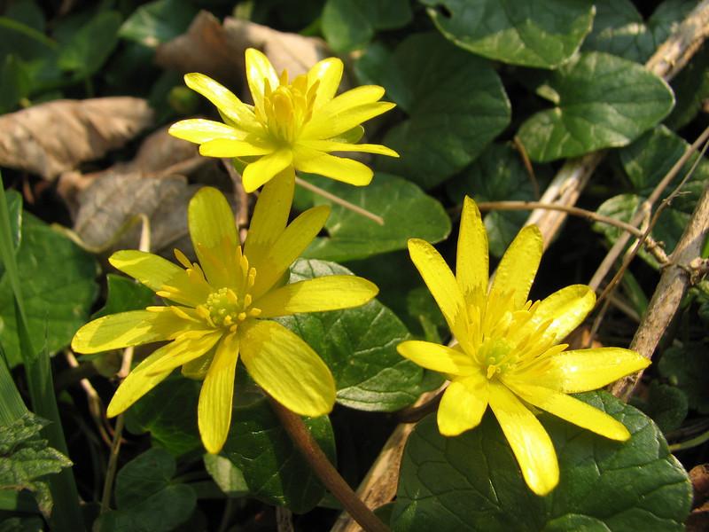 close up of Ranunculus ficaria (Hohnbachtal, La Calamine,Belgium)