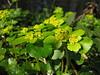 Chrysosplenium alternifolium (Hohnbachtal, La Calamine,Belgium)
