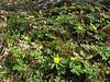 habitat of Anemone ranunculoides (Hohnbachtal, La Calamine, Belgium)